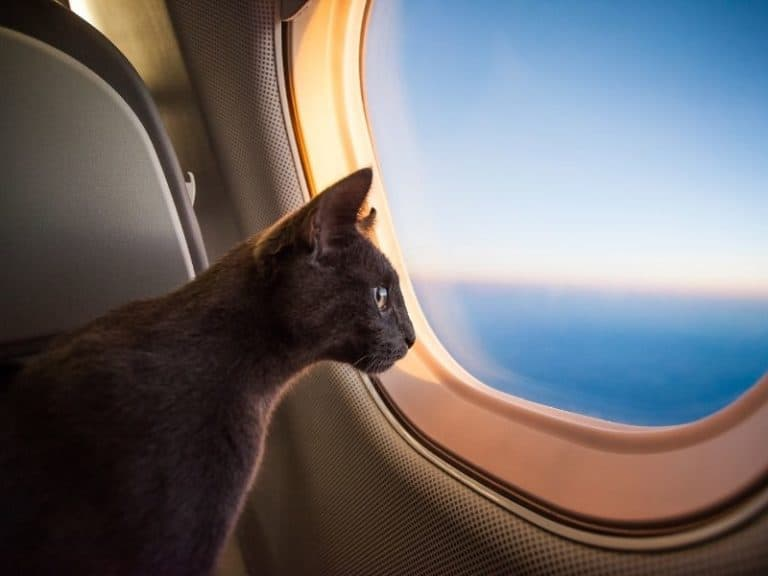 6 Tips to Keep a Cat From Meowing on a Plane