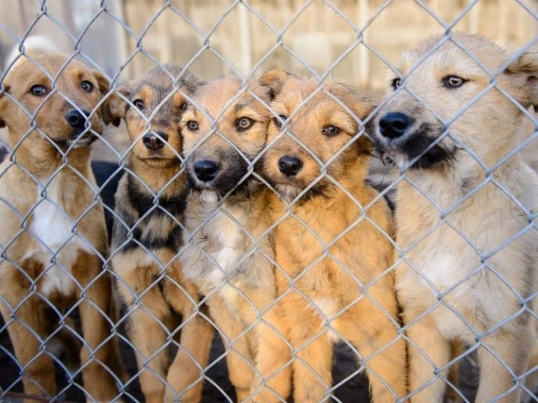Adopting a Dog vs. Buying from a Breeder