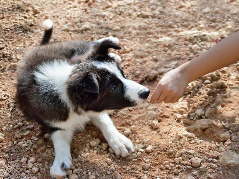 feeding dog