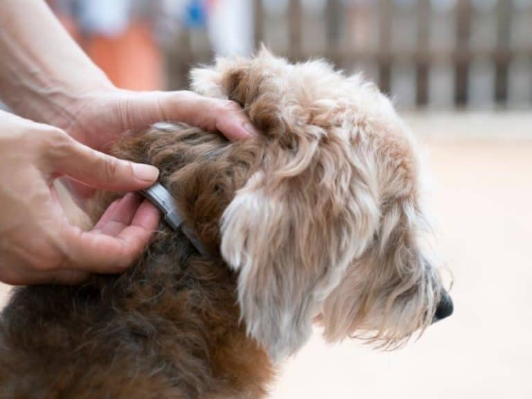 Is a Flea Collar Better Than Topical Medicine?