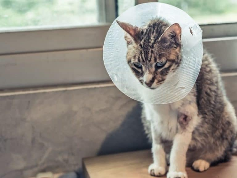 Spay and Neuter Cats: All Questions Answered
