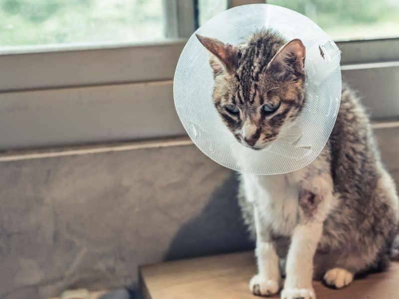 neutered cat