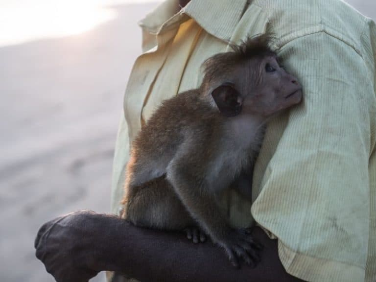 How Much Does It Cost to Adopt a Monkey in the USA?
