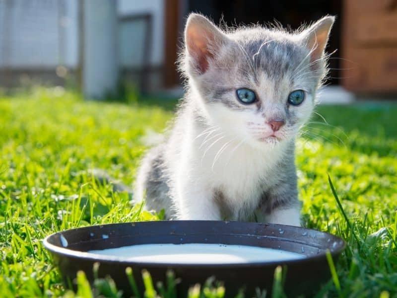 kitten and milk